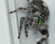 Jumping Spider Photos - Jumping Spider by Paul Ward