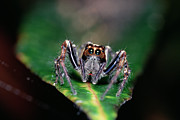 Jumping Spiders Prints - Jumping Spider Plexippus Paykulli Print by Gerry Ellis