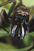 Jumping Spiders Prints - Jumping Spider Portrait, Queensland Print by Mark Moffett