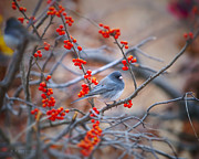 Bird Digital Art Posters - Junco Among Red Berries Poster by J Larry Walker