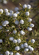 Juniper Photos - Juniper Berries (juniperus Californicus) by Bob Gibbons