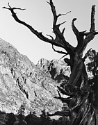National Pyrography Framed Prints - Juniper High Sierra Nevadas Framed Print by Pete Paul
