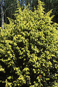Juniper Photos - Juniperus Communis golden Showers by Adrian Thomas