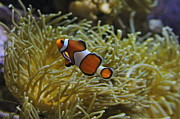 Clown Fish Photo Metal Prints - Just A Clown Metal Print by Rick  Monyahan