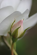 Rose Macro Prints - Just a Pink Rosebud Print by Jennie Marie Schell