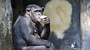 Chimpanzee Prints - Just Another Day Print by Fraida Gutovich