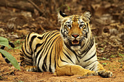 The Tiger Metal Prints - Just Another Pose | Tadoba Andheri Tiger Reserve Metal Print by Soumyajit Nandy Photography