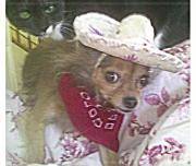Chihuahua Mexican Sombrero Framed Prints - Just Because She Is A Chihuahua Framed Print by Carol Wisniewski