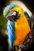 Blue And Yellow Macaw Prints - Just call me beautfiul Print by Carl Jackson