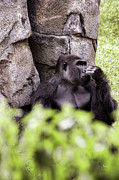 Gorilla Originals - Just Chillin by Gordon Dean II