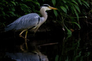 Grey Heron Framed Prints - Just Fishing Framed Print by Brian Roscorla