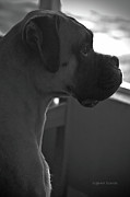 Boxer Metal Prints - Just Handsome Metal Print by DigiArt Diaries by Vicky Browning