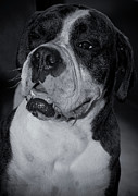 Boxer Art - Just Handsome II by DigiArt Diaries by Vicky Browning