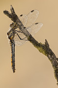 Dragonfly Framed Prints - Just Hanging Around Framed Print by Andy Astbury