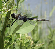 Dragon Fly Photos - Just Hanging Around by Thomas Young