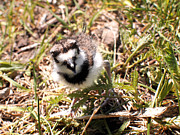 Killdeer Photos - Just Hatched - Killdeer by Angie Rea