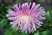 Aster  Photo Framed Prints - Just Like A Bad Hair Day. Framed Print by Terence Davis