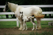 Tinker Horse Art - Just like Mama by Laurie Comfort