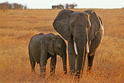 Elephant Photo Posters - Just Mom and Me Poster by Sandra Bronstein