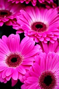 Gerbera Art - Just One For Me Thank You by Jez C Self