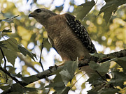 Red-shouldered Hawk Photos - Just Spotted Dinner by DigiArt Diaries by Vicky Browning