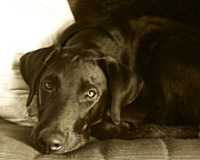 Labrador Retriever Photos - Just Taking a Break by Roger Wedegis