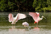 Juvenile Animals Posters - Juvenile And Adult Spoonbills Feeding Poster by Tim Laman
