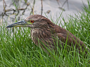 Hamakua Framed Prints - Juvenile Black-Crowned Night Heron Framed Print by Dan McManus