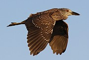 Juvenile Black Crowned Night Heron In Flight Print by Thomas Photography
