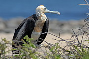 Juvenile Great Frigate Bird  Print by Sami Sarkis
