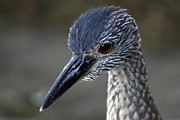 Cypress - Juvenile Night Heron Portrait by Juergen Roth