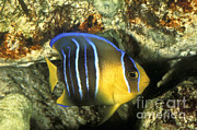 Greg Dimijian - Juvenile Queen Angelfish