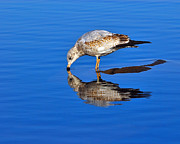 Larus Delawarensis Prints - Juvenile Ring-billed Gull  Print by Tony Beck