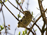 Twig Photos - Juvenile Robin by Jane Rix