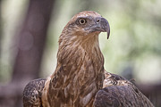 Top-end Posters - Juvenile Sea Eagle Poster by Douglas Barnard
