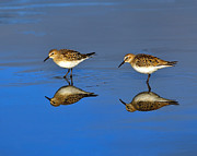 Shorebird Photos - Juvenile White-rumped Sandpipers by Tony Beck