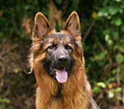 Veterinarian Posters - Kaiser - German Shepherd Poster by Sandy Keeton