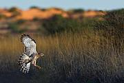 Hawk Originals - Kalahari Goshawk by Basie Van Zyl
