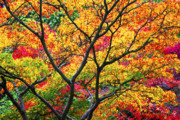 Japanese Maple Posters - Kaleidoscope of Autumn Color Poster by Eggers   Photography