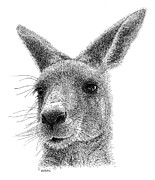 Kangaroo Drawings - Kangaroo by Scott Woyak