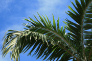 Fine Art Photograph Art - Kaniu Coconut Palm from the Gardens of Heaven by Sharon Mau