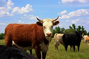 Black Angus Prints - Kansas Country Cows with blue sky and grass Print by Robert D  Brozek