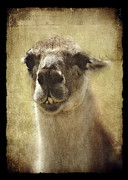 Llama Digital Art Framed Prints - Karma Llama Framed Print by Julie Williams