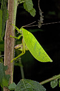 Featured Acrylic Prints - Katydid Female Laying Eggs Ghana Acrylic Print by Piotr Naskrecki