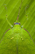 Animals And Insects Photos - Katydid Mamang River Forest Reserve by Piotr Naskrecki