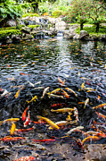 Gold Fish Photos - Kauai Koi Pond by Darcy Michaelchuk