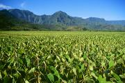 Harvest Art Prints - Kauai, Wet Taro Farm Print by Himani - Printscapes
