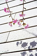 Pink White Framed Prints - Kawadu Sakura Framed Print by Privacy Policy