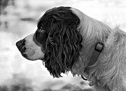 Dog Print Photo Prints - Kaya monochrome Print by Steve Harrington