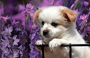 White Puppy Posters - KC In Flowers Poster by Marjorie Imbeau